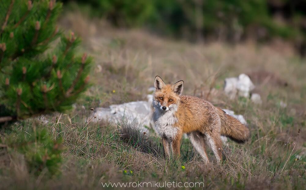 Lisica in jelenjad