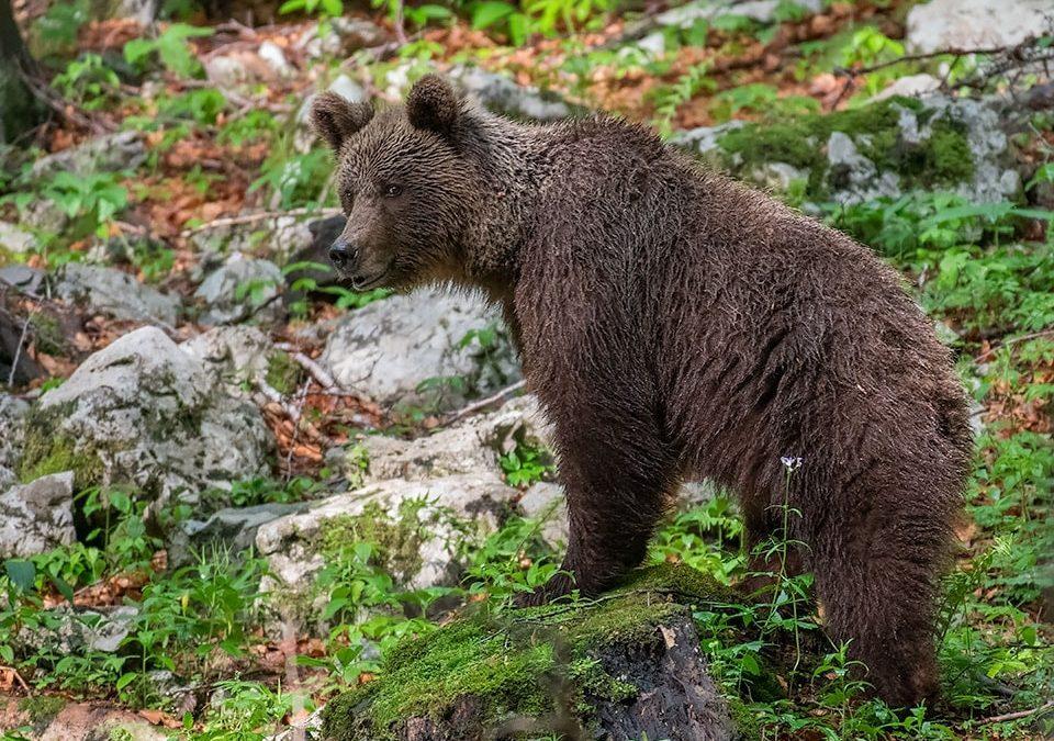 Premočen medved