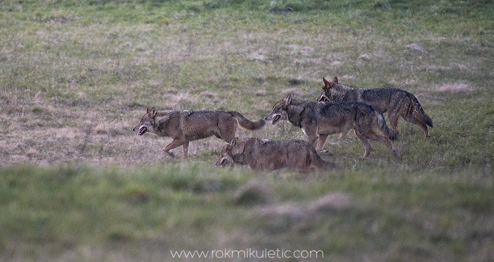 Volkovi v naselju